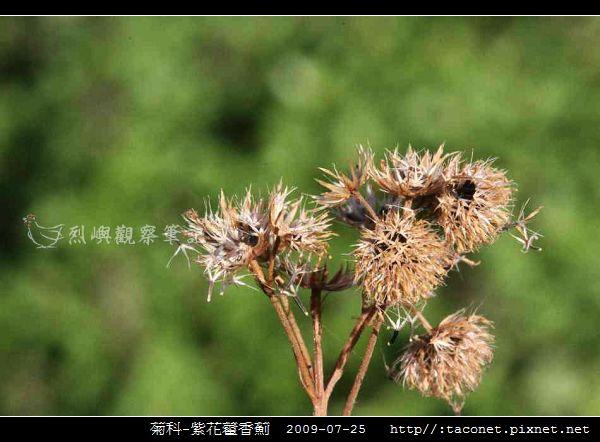 菊科-紫花藿香薊_12.jpg