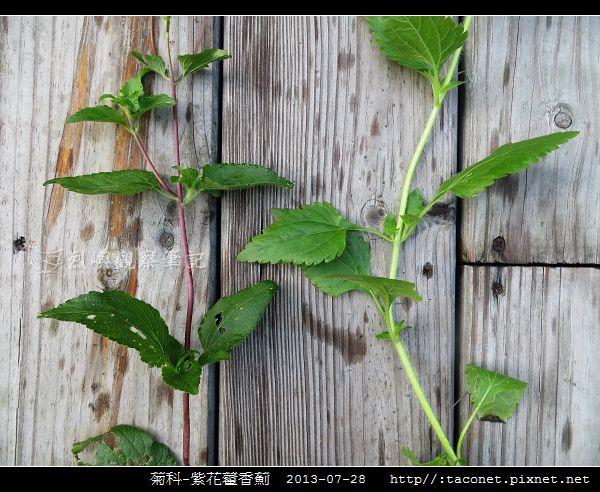 菊科-紫花藿香薊_14.jpg.jpg