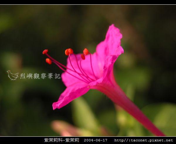 紫茉莉科-紫茉莉_01.jpg