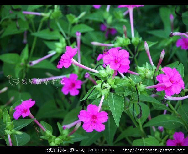 紫茉莉科-紫茉莉_02.jpg