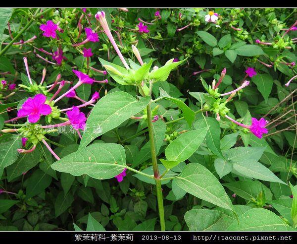 紫茉莉科-紫茉莉_03.jpg
