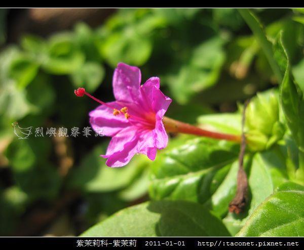 紫茉莉科-紫茉莉_06.jpg