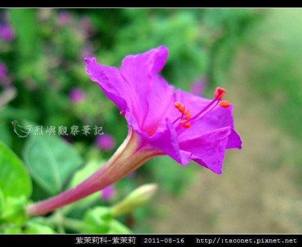紫茉莉科-紫茉莉_09.jpg