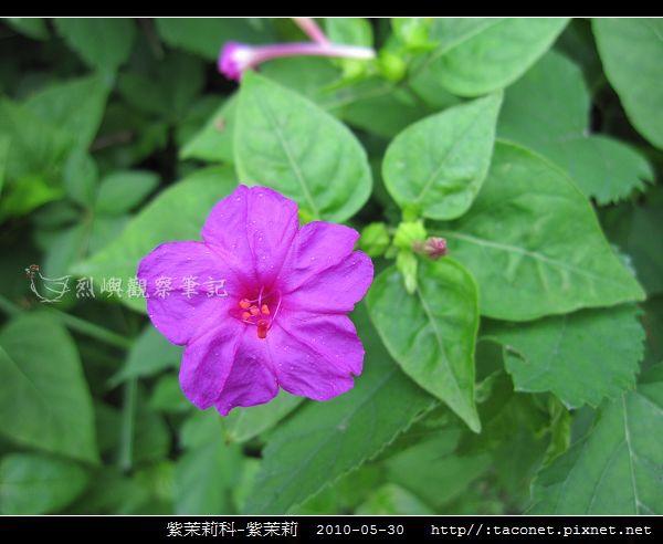 紫茉莉科-紫茉莉_11.jpg
