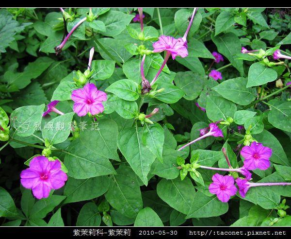 紫茉莉科-紫茉莉_12.jpg