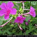紫茉莉科-紫茉莉_15.jpg