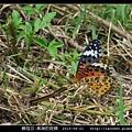 鱗翅目-黑端豹斑蝶-01.jpg