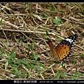 鱗翅目-黑端豹斑蝶-03.jpg