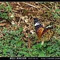 鱗翅目-黑端豹斑蝶-02.jpg