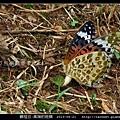 鱗翅目-黑端豹斑蝶-04.jpg