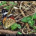 鱗翅目-黑端豹斑蝶-05.jpg