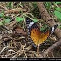 鱗翅目-黑端豹斑蝶-06.jpg