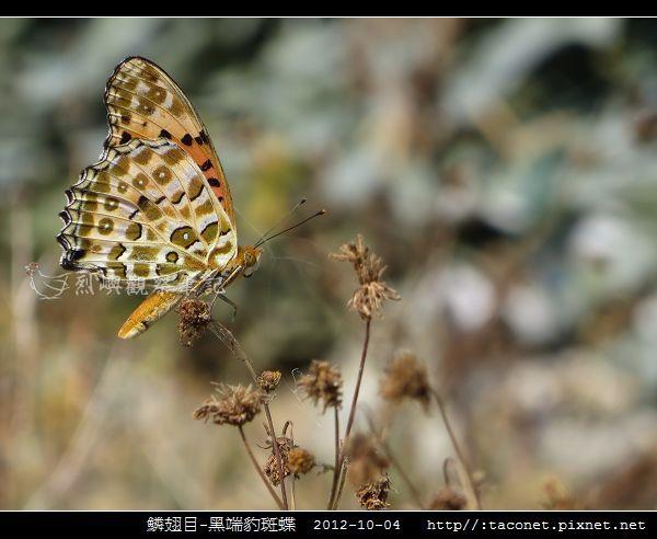 鱗翅目-黑端豹斑蝶-09.jpg