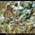 鱗翅目-黑端豹斑蝶-08.jpg