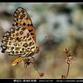 鱗翅目-黑端豹斑蝶-10.jpg