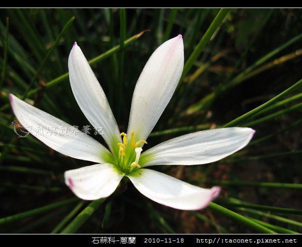 石蒜科-蔥蘭_01.jpg
