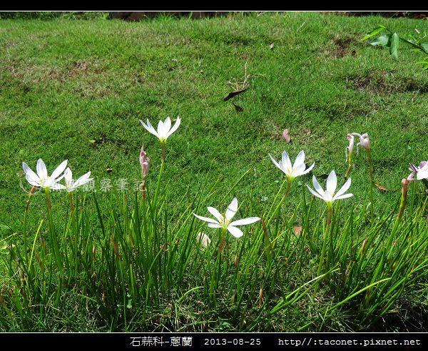 石蒜科-蔥蘭_02.jpg