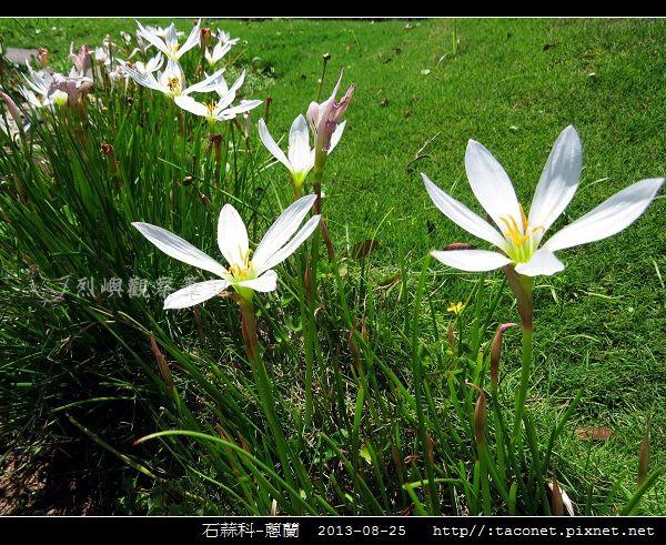 石蒜科-蔥蘭_04.jpg