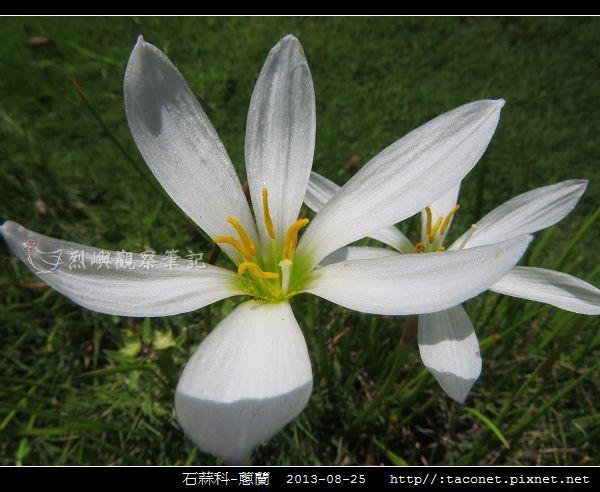 石蒜科-蔥蘭_05.jpg