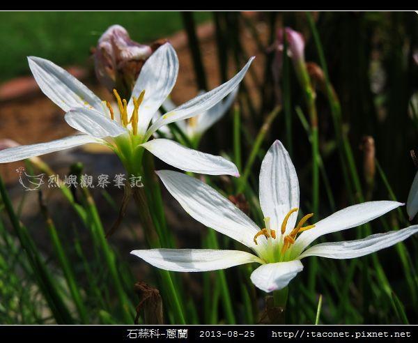石蒜科-蔥蘭_06.jpg