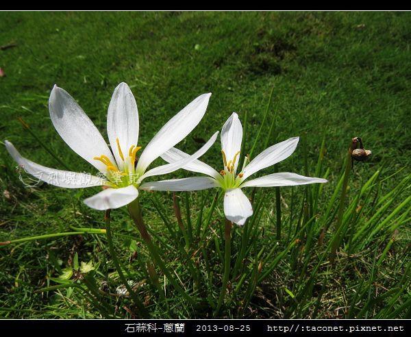 石蒜科-蔥蘭_07.jpg