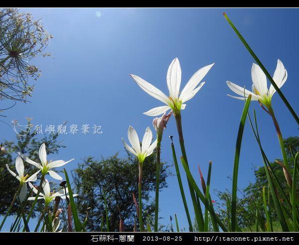 石蒜科-蔥蘭_08.jpg