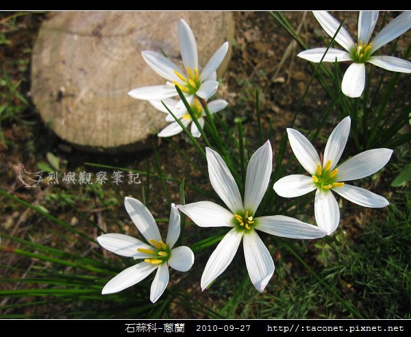 石蒜科-蔥蘭_09.jpg