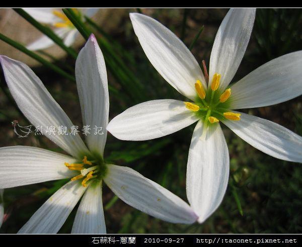 石蒜科-蔥蘭_10.jpg