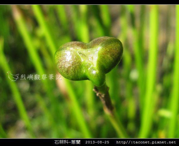 石蒜科-蔥蘭_11.jpg