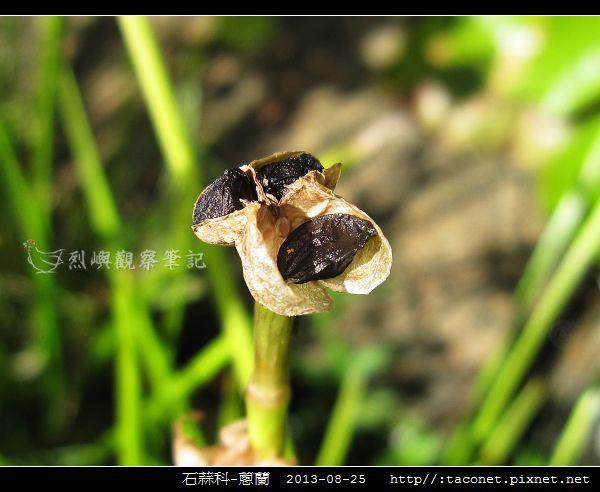 石蒜科-蔥蘭_12.jpg