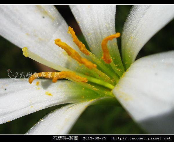 石蒜科-蔥蘭_13.jpg