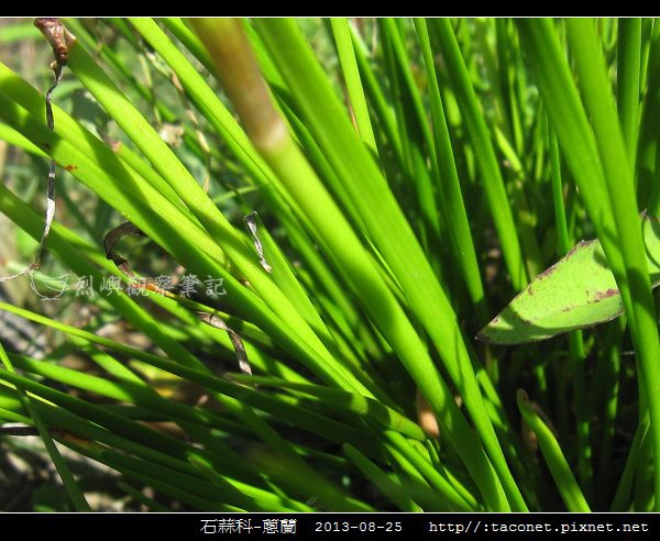 石蒜科-蔥蘭_14.jpg