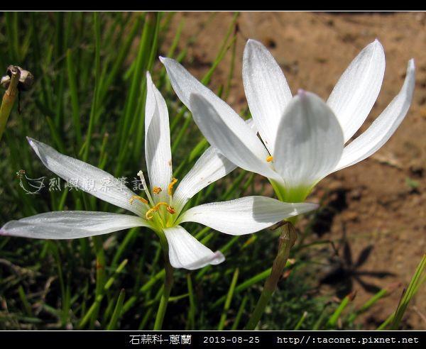 石蒜科-蔥蘭_15.jpg