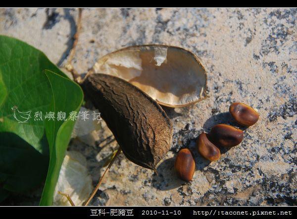 豆科-肥豬豆_01.jpg