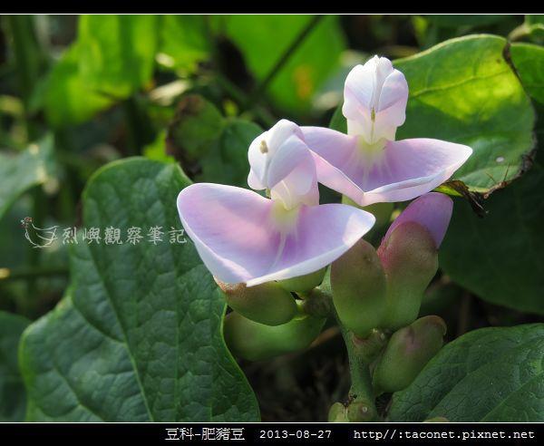 豆科-肥豬豆_02.jpg