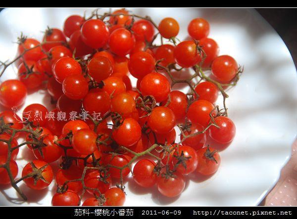 茄科-櫻桃小番茄_01.jpg