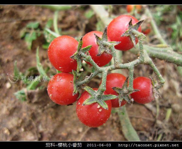 茄科-櫻桃小番茄_02.jpg
