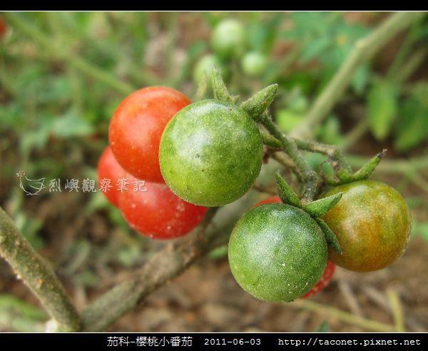 茄科-櫻桃小番茄_03.jpg