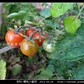 茄科-櫻桃小番茄_05.jpg