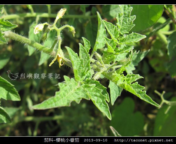 茄科-櫻桃小番茄_10.jpg