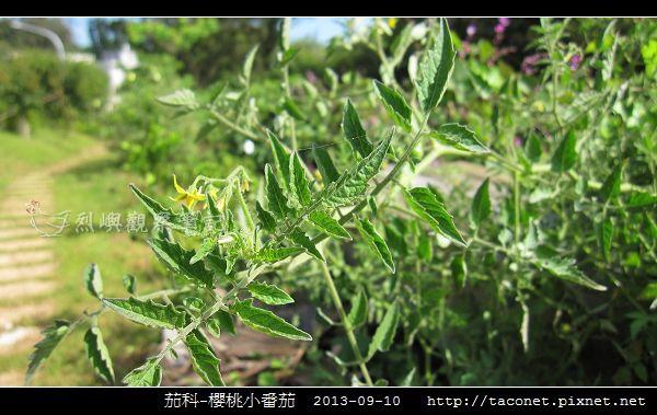 茄科-櫻桃小番茄_11.jpg