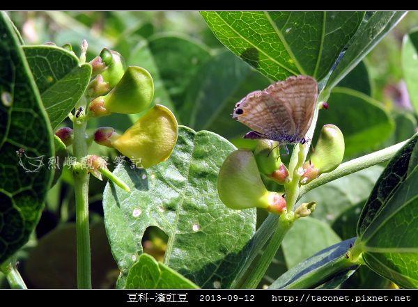 豆科-濱豇豆_05.jpg