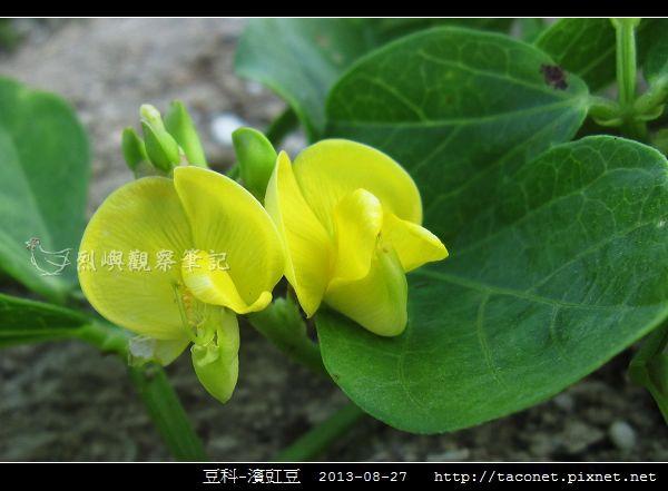 豆科-濱豇豆_12.jpg