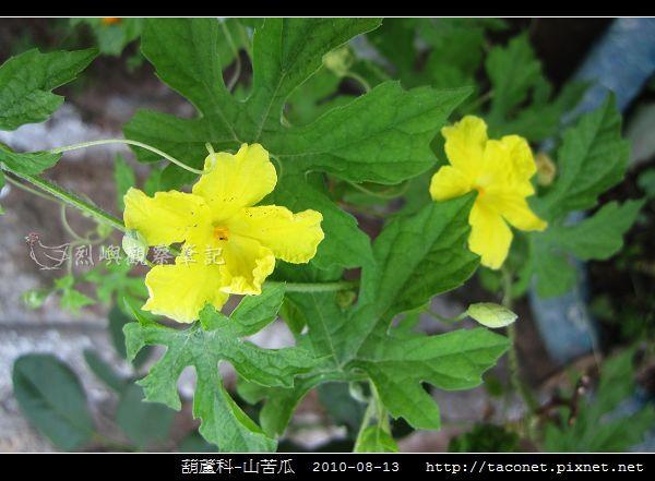 葫蘆科-山苦瓜_04.jpg