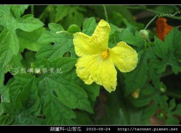 葫蘆科-山苦瓜_06.jpg