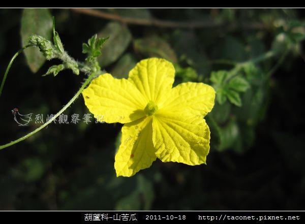 葫蘆科-山苦瓜_08.jpg