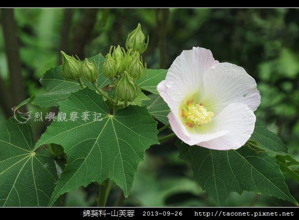錦葵科-山芙蓉_04.jpg