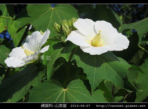 錦葵科-山芙蓉_07.jpg