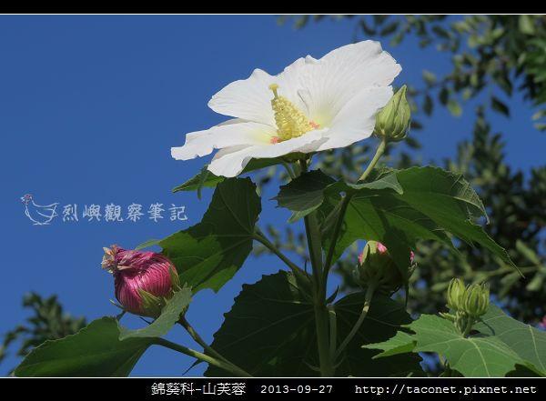 錦葵科-山芙蓉_08.jpg