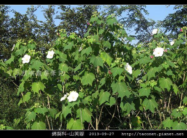 錦葵科-山芙蓉_09.jpg